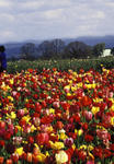 Tulip Field (OR) 1089 Mary Weaver